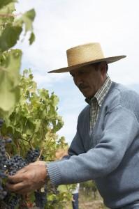 Weinproduzent in Chile
